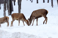 Female deer eating in winter-Stock Photos Stock Images