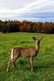 Female Deer on a Fall Day. A female deer is standing in a field on a colorful fall day in Quebec, Canada Stock Image