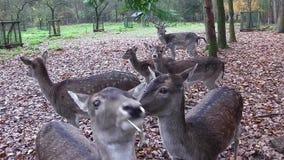 Female deer is fed stock footage