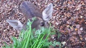 Female deer is fed stock video footage