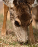 Female Deer Feeding. A Female Deer feeding up close in Colorado Royalty Free Stock Photo