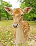 Female deer in the forest Stock Photography