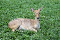 Female deer in garden at thailand. Cervus elaphus green animal grass brown wild wildlife mammal forest whitetail doe red head eyes fur summer hide beautiful royalty free stock images