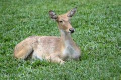 Female deer in garden at thailand. Cervus elaphus green animal grass brown wild wildlife mammal forest whitetail doe red head eyes fur summer hide beautiful royalty free stock image