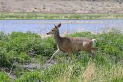 Female Deer on the go Royalty Free Stock Photo