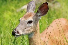 Female deer in grass Royalty Free Stock Image