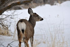 Female  deer grazing on snow-covered mountain. Stock Photos