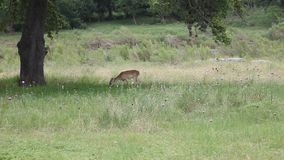 Female Deer grazing under a tree in a field. This is a video of a female Doe deer grazing on grass under a tree.  This was shot in Texas along the Pedernales stock footage