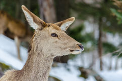 Female deer. Head of a female deer in Canada royalty free stock photography