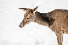 Female deer head and shoulders isolated on white snow. On winter Royalty Free Stock Photo