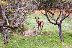 A female deer and her little in the bush. Royalty Free Stock Photo