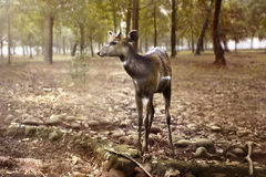 Female deer look inside the jungle Royalty Free Stock Photos