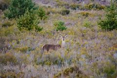 Female deer looking at camera in the bush Stock Photo