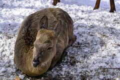 Female deer lying on the snow in the forest. stock images