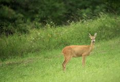 Female deer on meadow in morning Royalty Free Stock Images