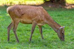 Female deer in the National Park in Białowieża. Beautiful, adult female deer in the National Park in Białowieża Royalty Free Stock Photography