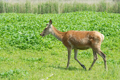 Female deer in nature Stock Photography