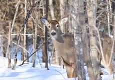 Female deer in nature Stock Photos