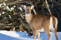 Female deer in nature Royalty Free Stock Photography