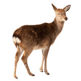 Female of Deer  over white Stock Photos