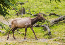 Female deer in the paddock on the background of grass and stumps at the zoo Stock Image