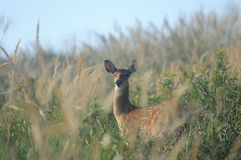 The female deer. This female deer is in the reeds Stock Image