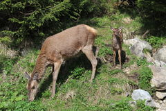 Female deer and it`s young cub in Tatra`s national park Stock Photos