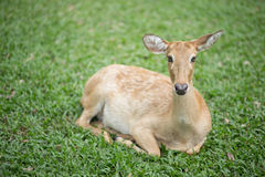 A female deer. Royalty Free Stock Photos