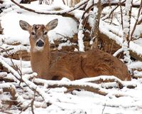 Female deer in snow stock images