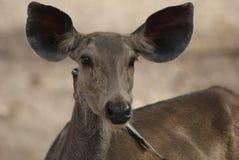 Female Deer Stock Images