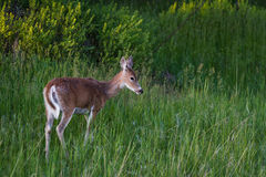 Female Deer Royalty Free Stock Images