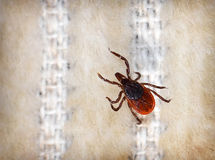 Female Deer Tick. Close-up female deer tick on cloth Royalty Free Stock Photography