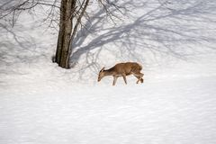 Female deer walking in the snow on winter in a park. In italy Stock Photo
