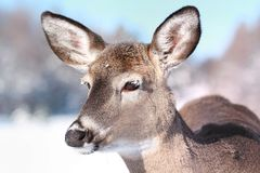 Female deer during winter Royalty Free Stock Image