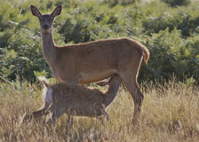 Female deer & young fawn feeding in Richmond Park. Female deer and young fawn feeding in Richmond Park, Surrey, England. The young fawn is milking off it's Stock Image