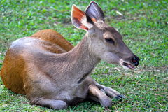 Female deer. Young female deer in national park Thailand Royalty Free Stock Image