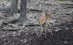 Female deer in the zoo Stock Photography