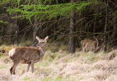 Female Deers Royalty Free Stock Photos