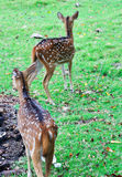 Female deers looking for his baby in the meadow Royalty Free Stock Image