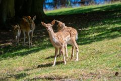 Female deers with white babys. Female deers with three babys on grassland royalty free stock photo