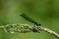 Female Demoiselle on a grass seed head stock image