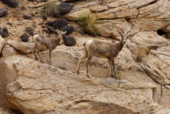 Female Desert Bighorn Sheep with Lamb Capitol Reef National Park Stock Image