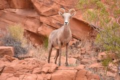 Female Desert Bighorn Sheep in Valley of Fire royalty free stock photo