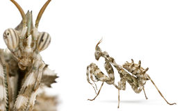Female Devil's Flower Mantis Stock Photo