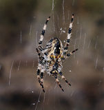 Female Diadem or garden spider on web. Stock Photography