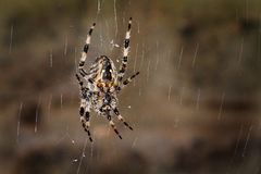 Female Diadem or garden spider on web. Royalty Free Stock Image
