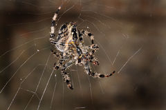 Female Diadem or garden spider on web. Royalty Free Stock Photo