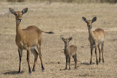 Female of different ages and young KOB in the Ugandan savannah i. N the dry season Royalty Free Stock Photos