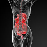 Female digestive system. 3d render illustration of the female digestive system - back view Royalty Free Stock Photos