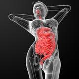 Female digestive system. 3d render illustration of the female digestive system - bottom view Royalty Free Stock Image
